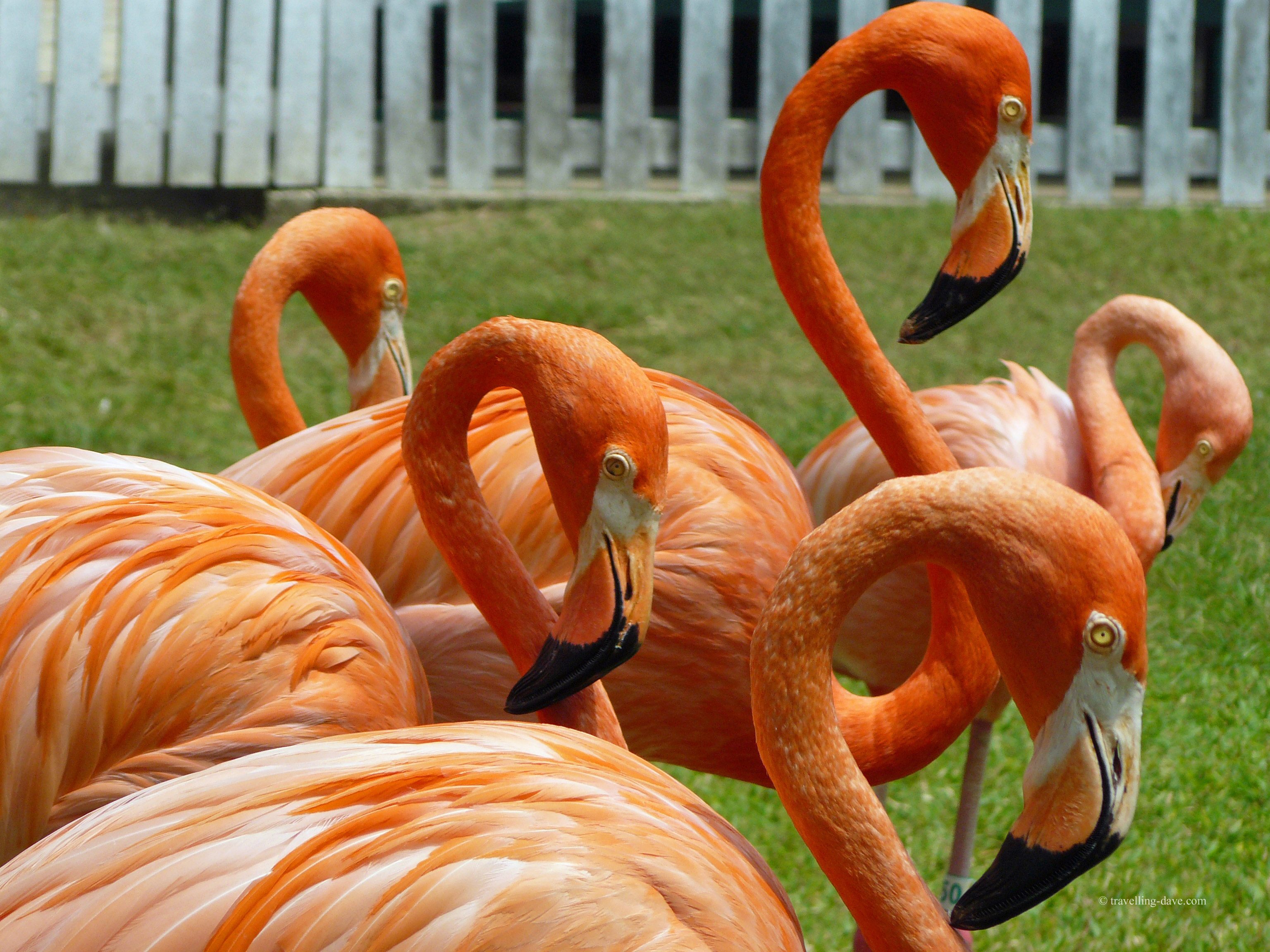 The famous marching flamingo of Ardastra Gardens in Nassau, Bahamas