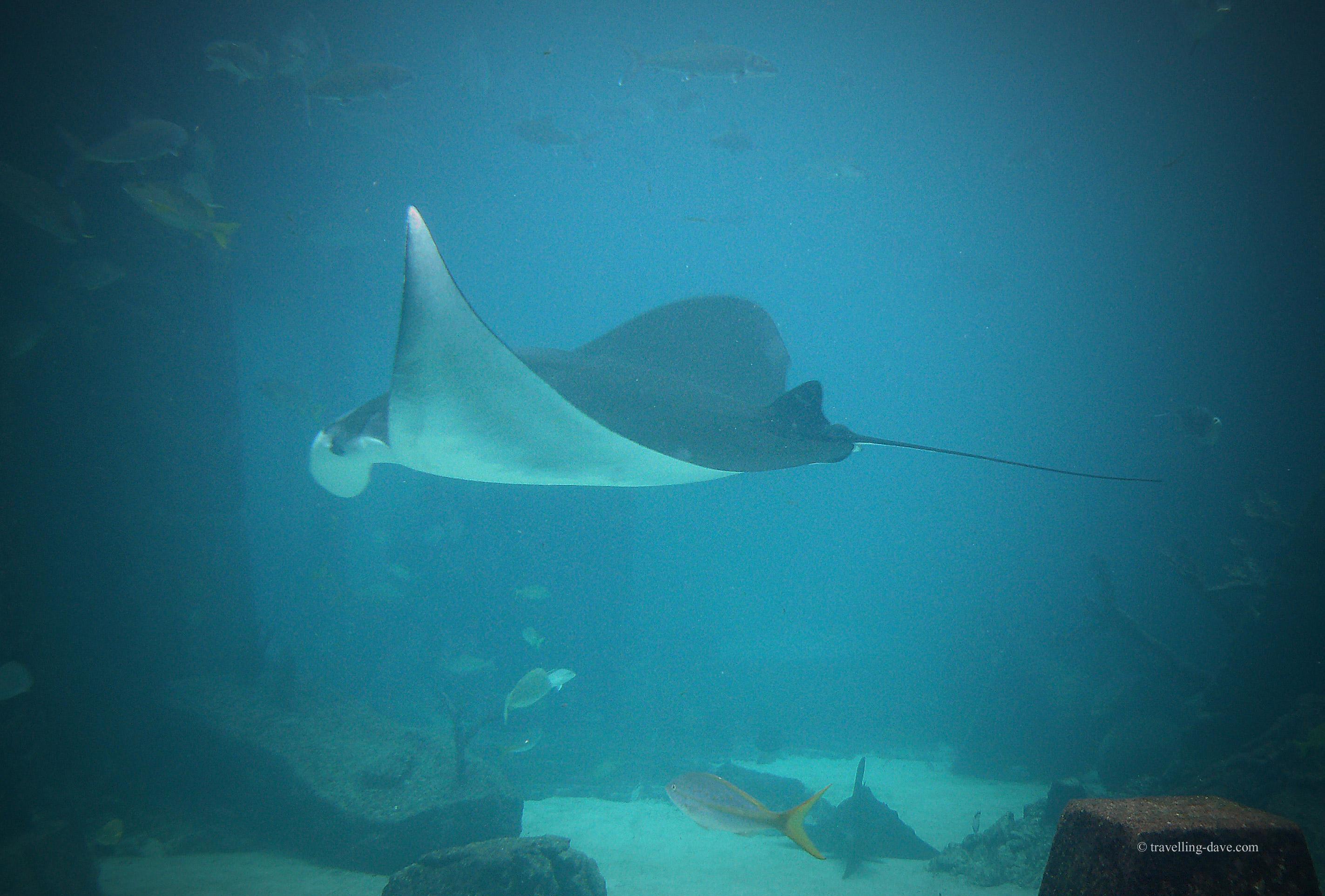 A manta ray swimming at Atlantis Resort Aquarium in the Bahamas.