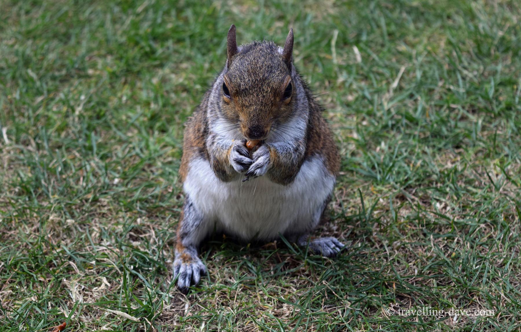 Camera friendly squirrel in London