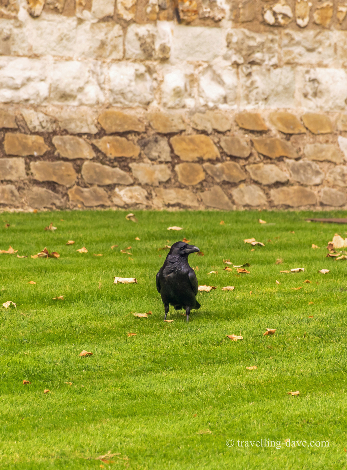 A raven in the grounds of the Tower of London