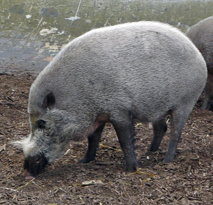 One of London Zoo bearded pigs