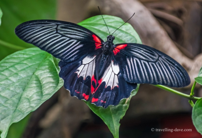 A black and red butterfly at London Zoo
