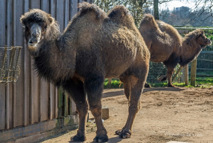 Two of London Zoo camels