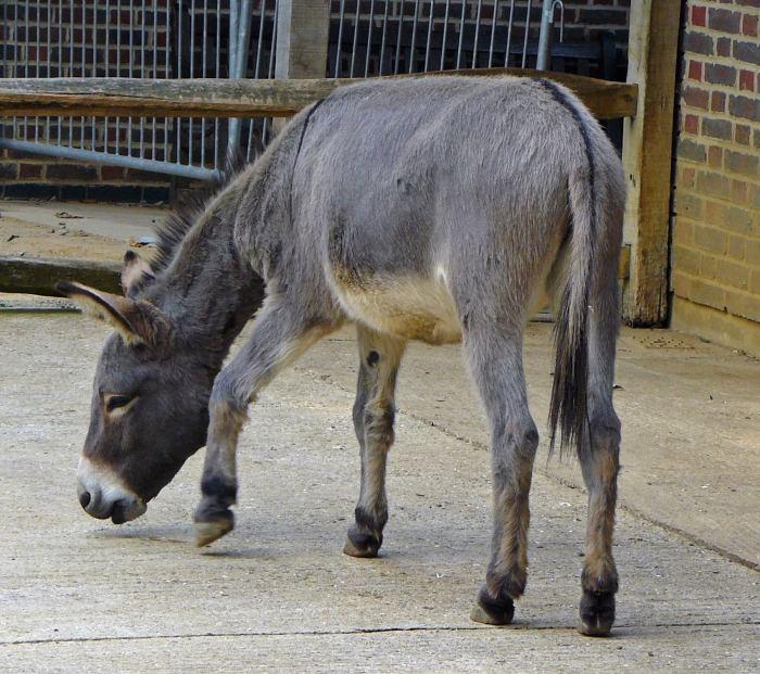 One of London Zoo donkeys