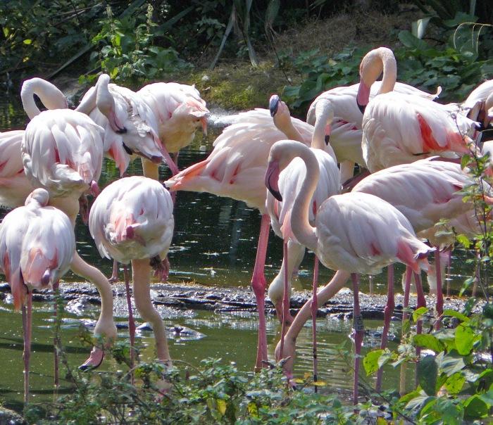 London Zoo pink flamingos