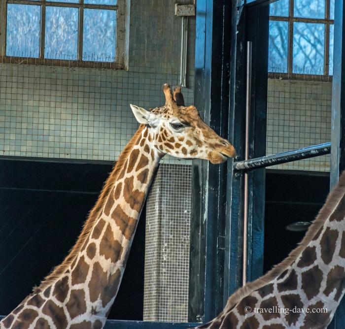 One of London Zoo giraffes