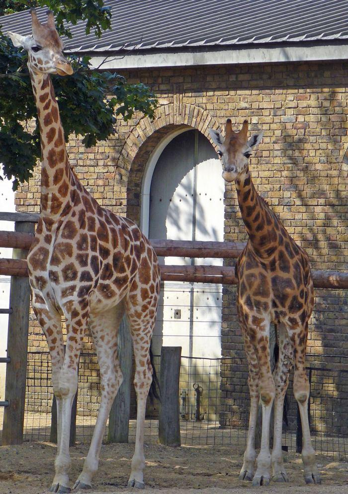 Two of London Zoo giraffes