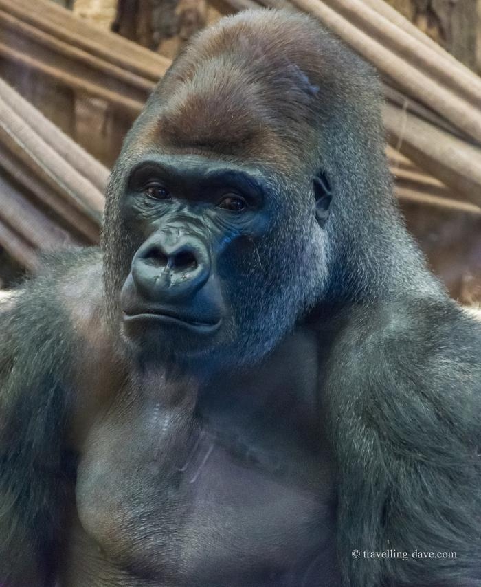 One of London Zoo gorillas