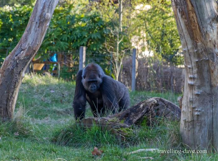 One of the gorillas at London Zoo