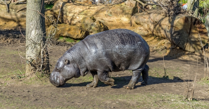 One of London Zoo pygmy hippos
