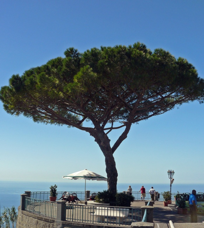 Tree by a lookout point in Ischia