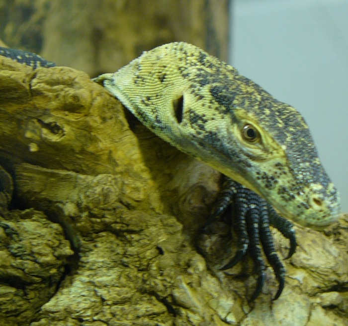 London Zoo resident Komodo Dragon