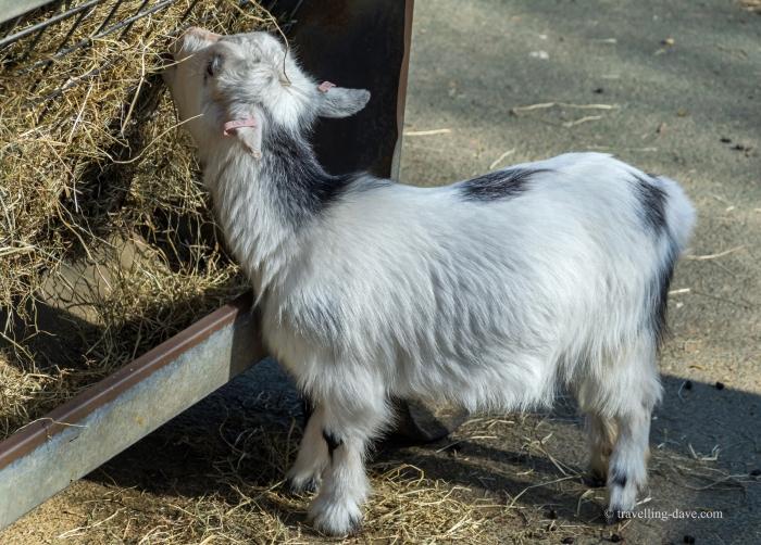 One of London Zoo lambs