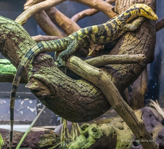 One of London Zoo lizards