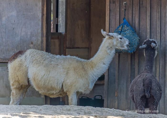 London Zoo llamas
