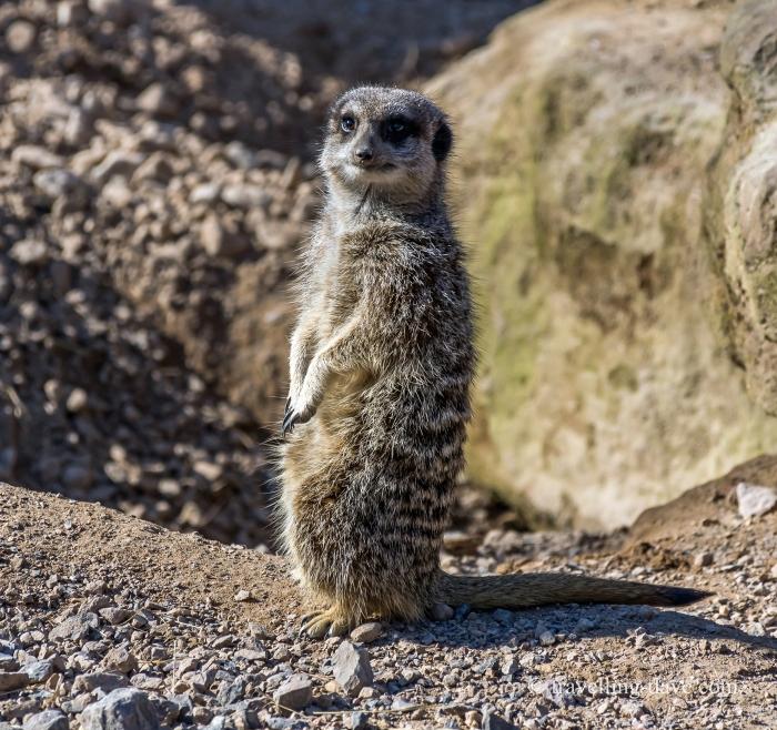 One of London Zoo meerkats