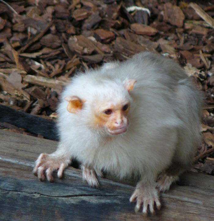 One of London Zoo white monkeys