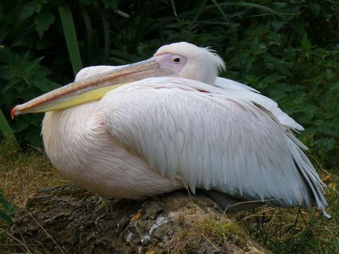 One of London Zoo pelicans