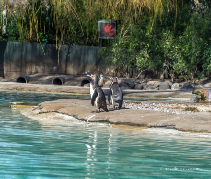 Two penguins by the pool at London Zoo