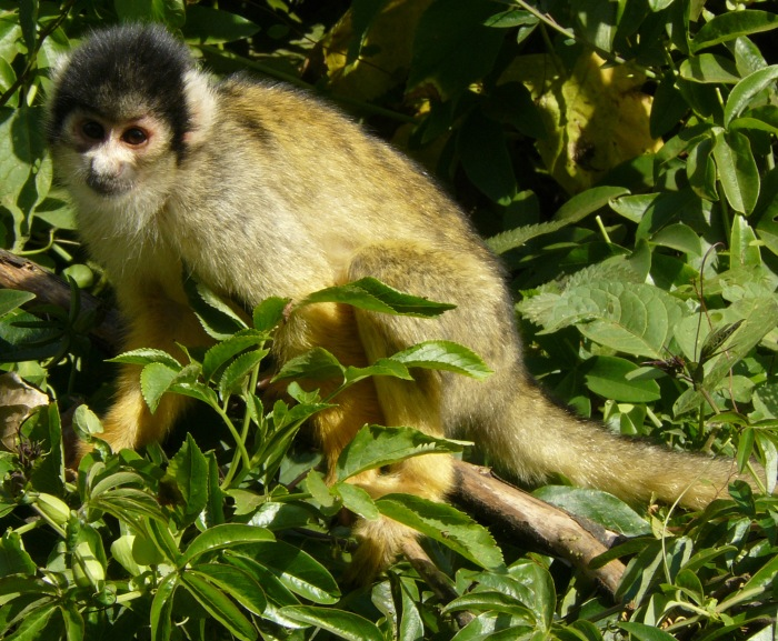 One of London Zoo Squirrel monkeys