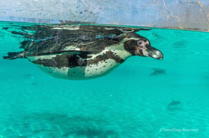 One of London Zoo penguins underwater