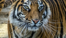 One of London Zoo tigers