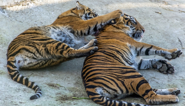 Two of London Zoo tigers