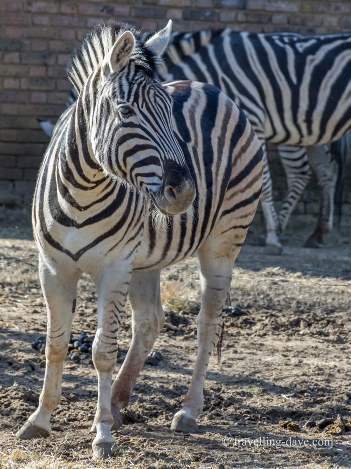 Two of London Zoo zebras
