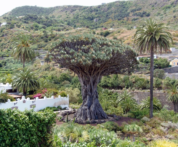 View of a Dragon Tree in Tenerife