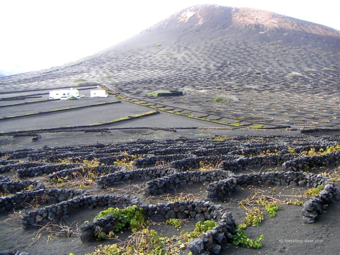 Vineyards in the lava fields in Lanzarote