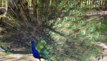 One of Holland Park peacocks