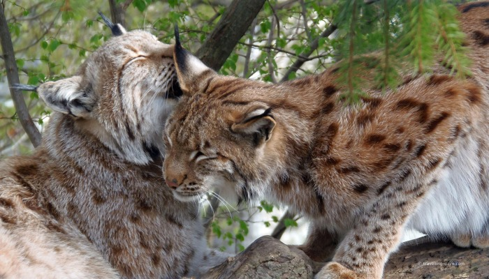 Two lynxes at the zoo