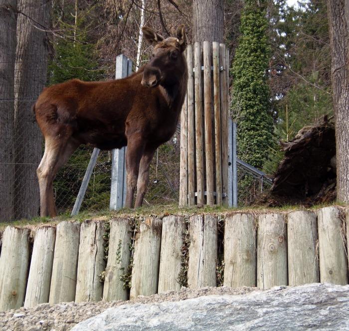 View of Innsbruck Alpenzoo resident moose