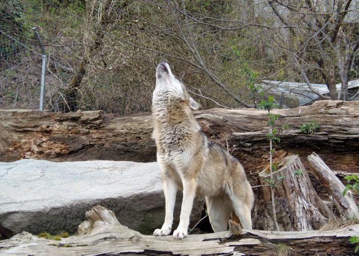 One of Innsbruck Alpenzoo wolves