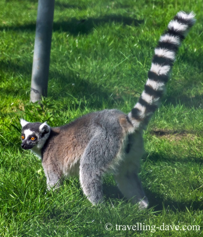 View of one of the lemurs at Golders Hill Park