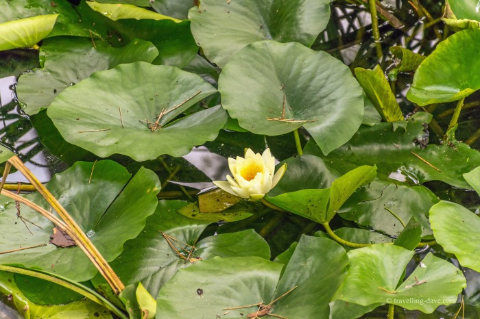 View of a yellow waterlily