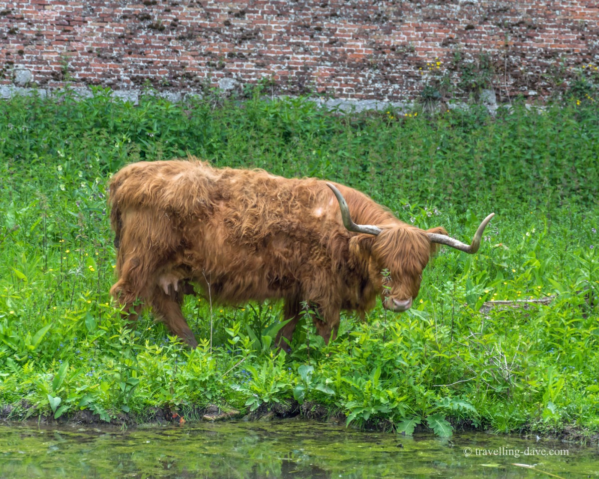 View of an highland cow