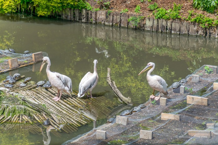 View of some of Lille Zoo's pelicans