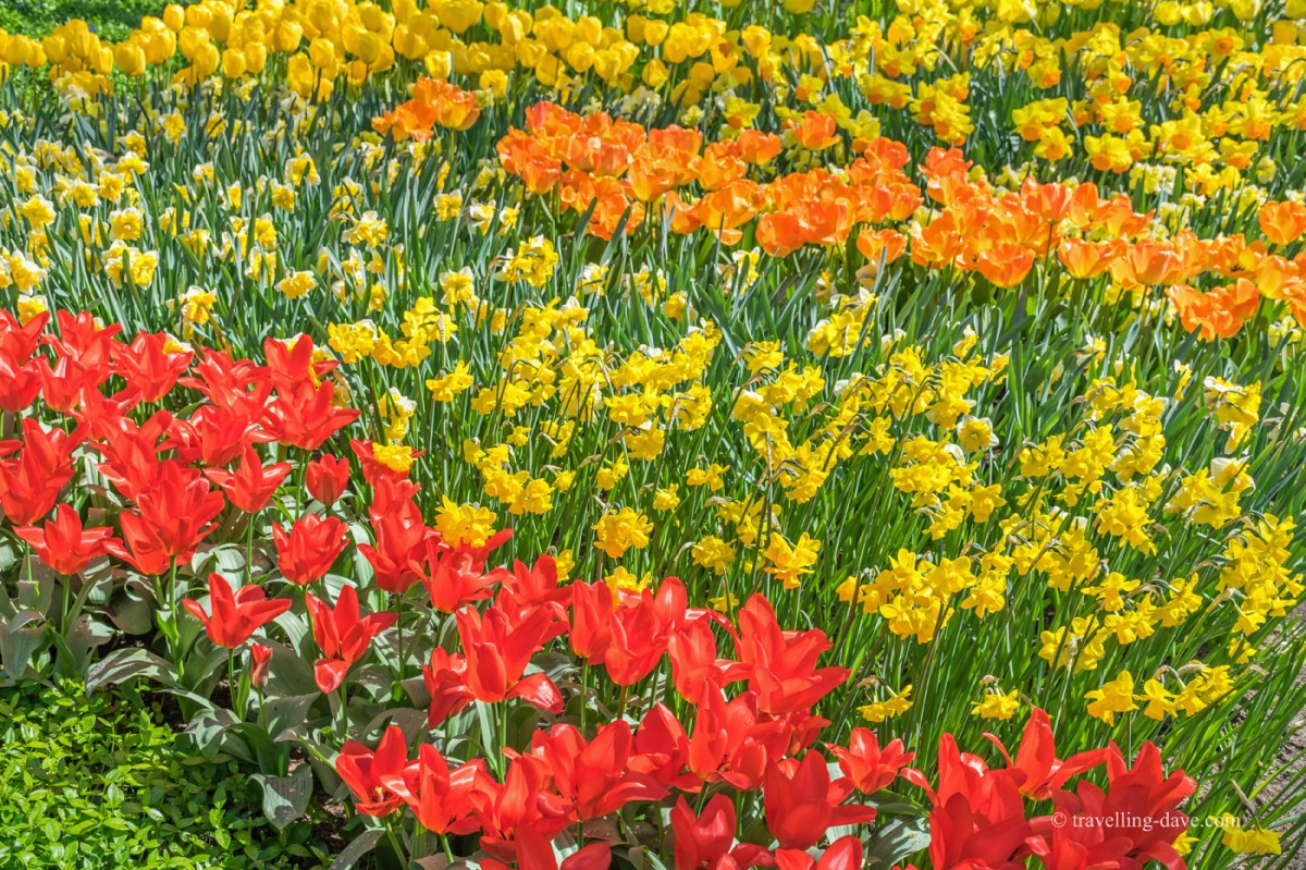 Red yellow and orange tulips