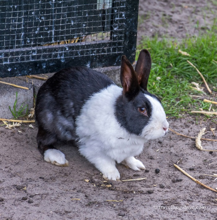 View of a black and white bunny rabbit