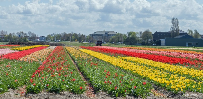 View of colorful tulip fields