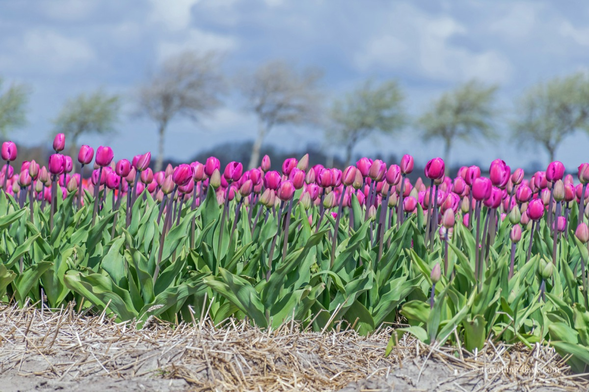 Pink tulips in one of Holland's tulip fields