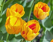 View of yellow and red tulips