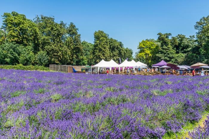 Looking across a lavender field