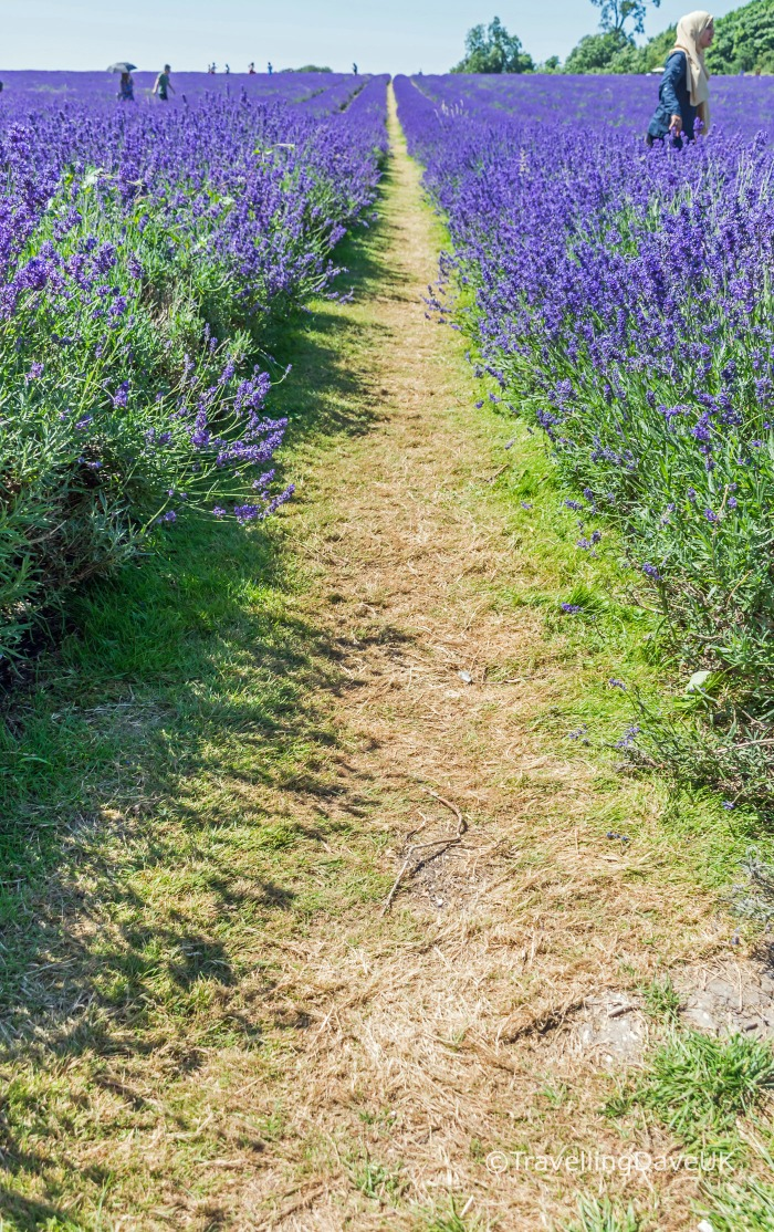 Looking down a path at a lavender field