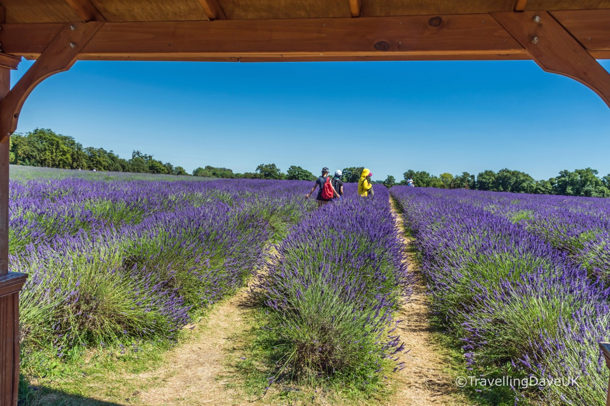 Looking out from a gazebo at a lavender field