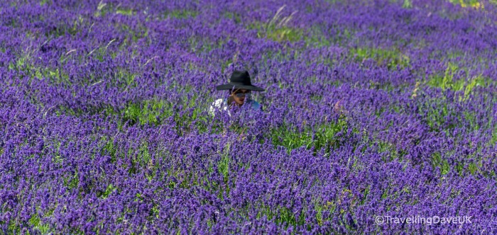 A sea of lavender and a lady with a hat