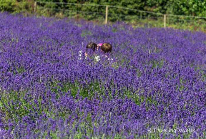 View of two kids among lavender in bloom