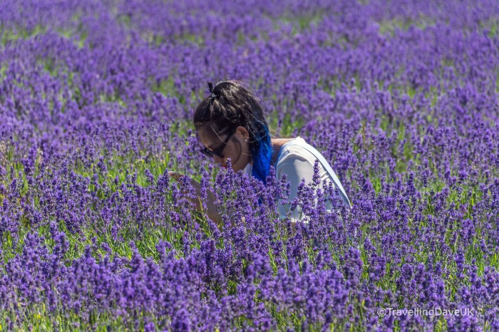 View of a lady sitting in a lavender field