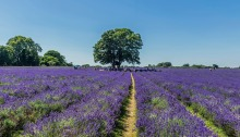 View of lavender and a large tree